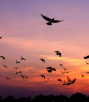 Birds flying during a pink and purple sunset.