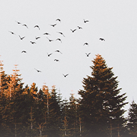 Birds flying over a forest.