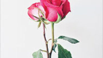 Two roses in a vase.